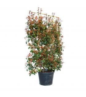 Photinia (x) Red Robin espalier