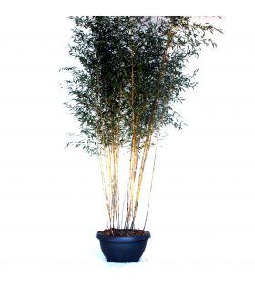 Bambou jaune