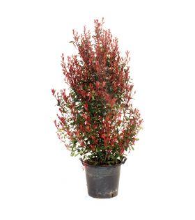 Photinia carré rouge baliveau