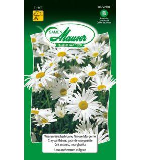 Chrysanthème Grande Marguerite