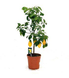 Mini-citron