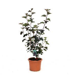Physocarpe à feuilles d'Obier 'Diabolo'