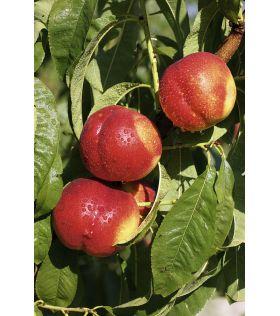FANTASIA Nectarinier