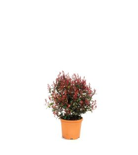 Photinia (x) carré rouge boule