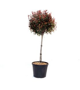 Photinia (x) Red Robin