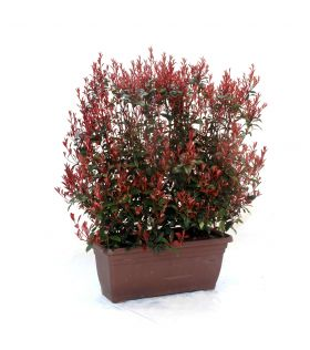Photinia (x) carré rouge