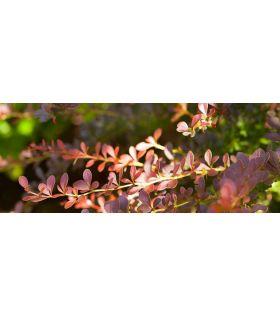 Berberis thunbergii 'Atropurpurea'