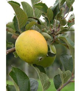 Pommier 'Reinette Ananas'